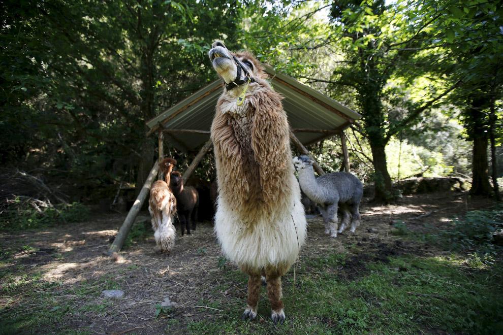 4. Альпаки стали домашними около 6 000 лет назад, их одомашнили и стали разводить индейцы Перу.