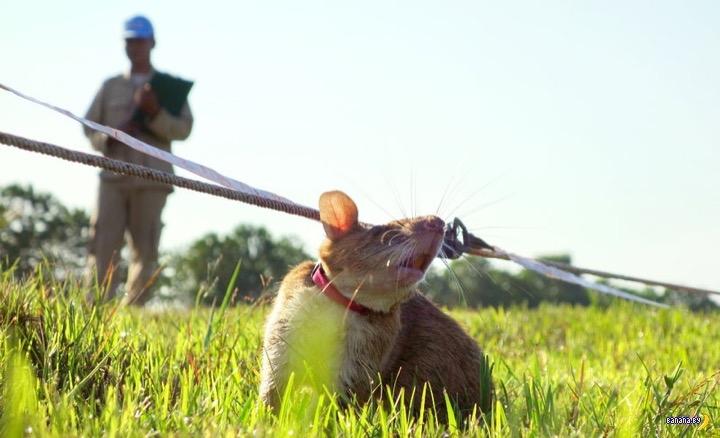 Крысы - сапёры