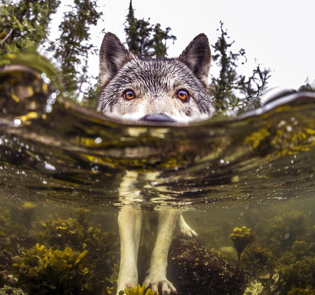 Редкие морские волки живут возле океана и могут плавать часами