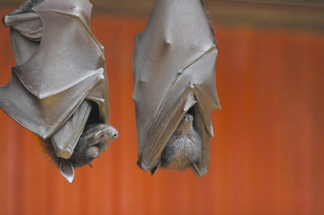 Почему летучие мыши висят вниз головой?