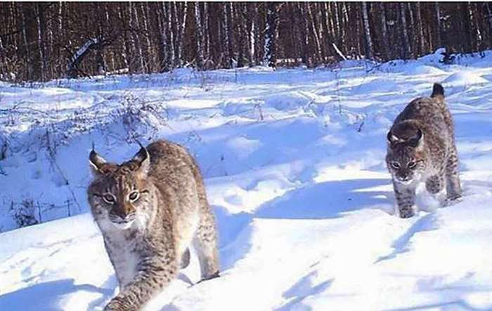 Медведи Медведи вернулись в Чернобыль после векового отсутствия Украинские ученые утверждают, что в