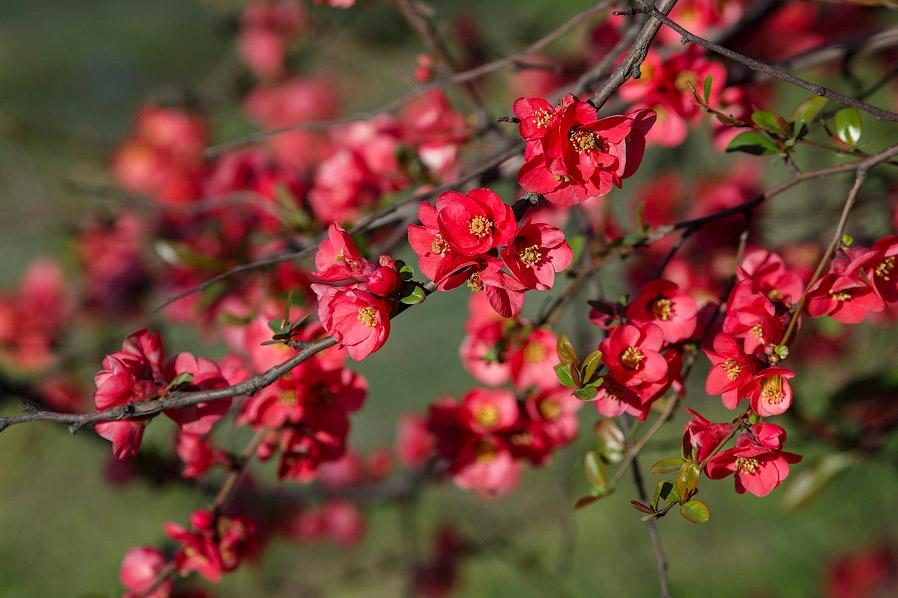 3. С незапамятных времен растет она в некоторых районах Закавказья и Средней Азии. В Талышских