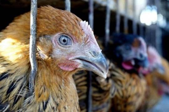 Индейка свирусом птичьего гриппа продавалась вмагазинах