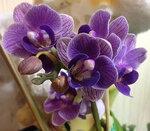 """Орхидеи - Фаленоп-мини """"Cирень"""""""