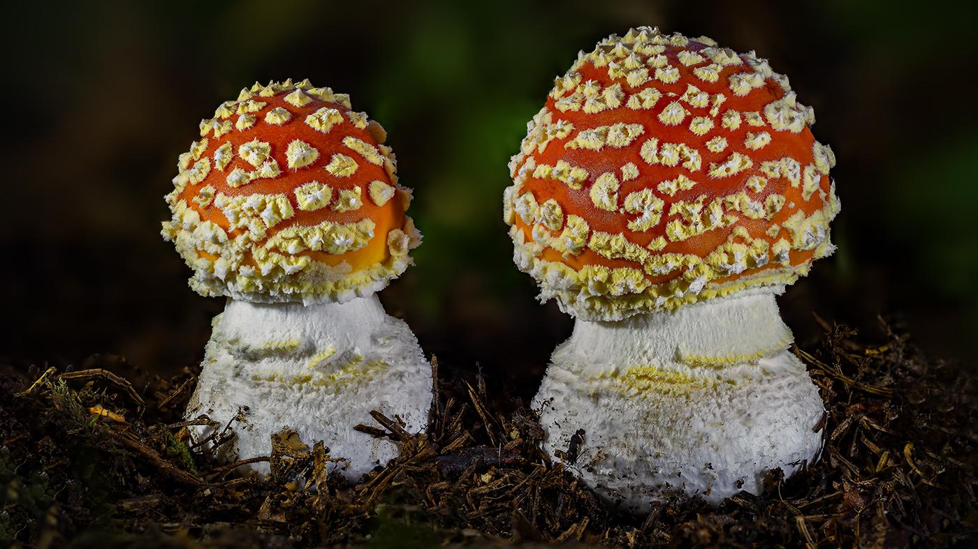 Mushroom Macro Collection / фотограф Roland Albanese