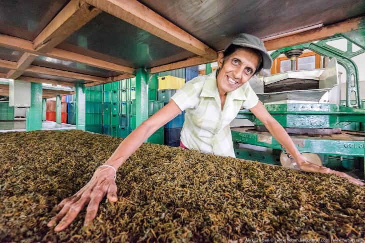2. Вот как чай собирают в Индии в Дарджилинге. Полагаю, что на Цейлоне его собирают точно также. Зар