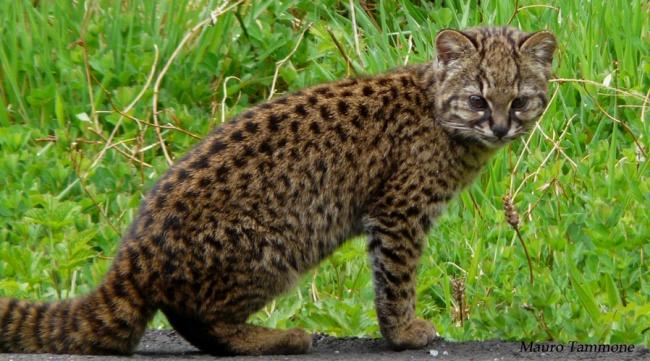 © wikipedia     Чилийская кошка, обитающая вюжной области Южной Америки, большую часть ж