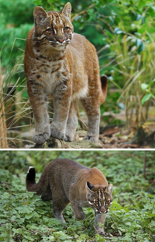© Karen Stout/flickr  © eastnews     Кошки Темминка— животные скрытные иосторожны