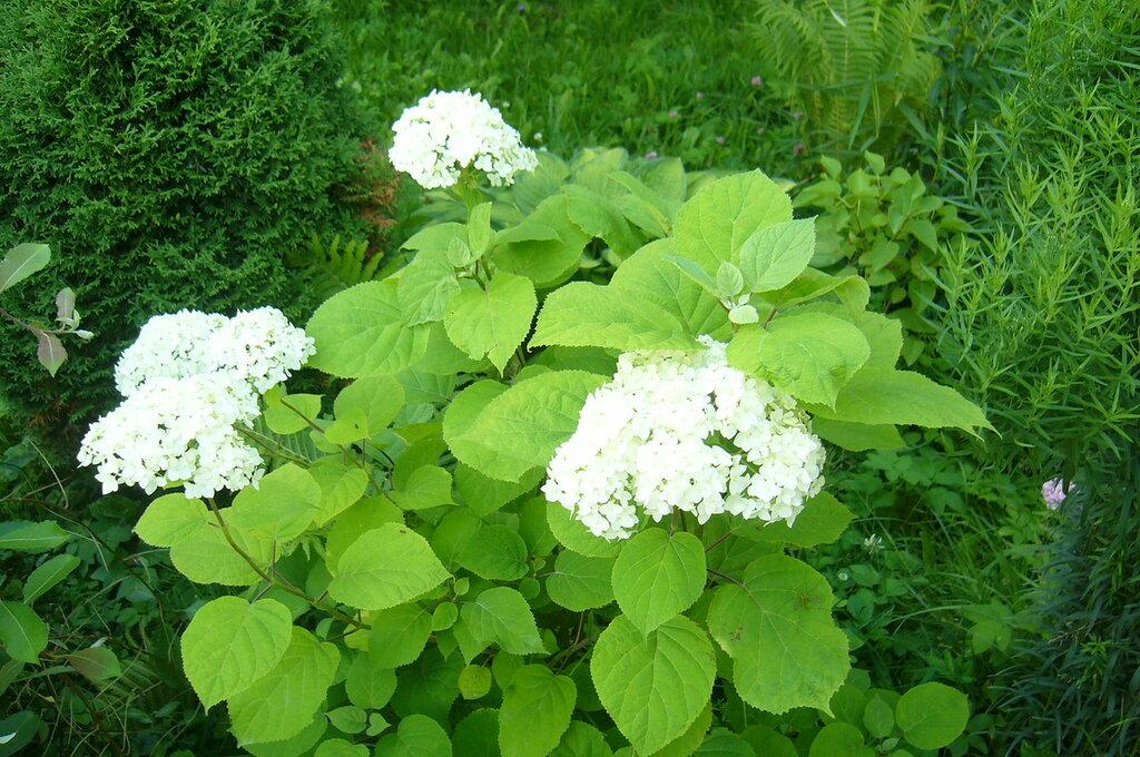 Заведите себе на даче гортензию Дача,цветы