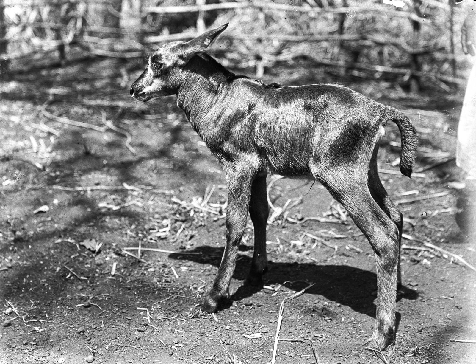 62. Молодая антилопа