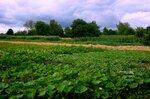 Огородное соседство.