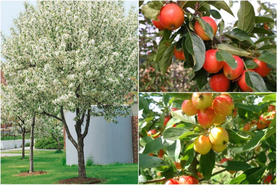 Райская яблоня, особенности ухода и посадки - яблоня John Downie