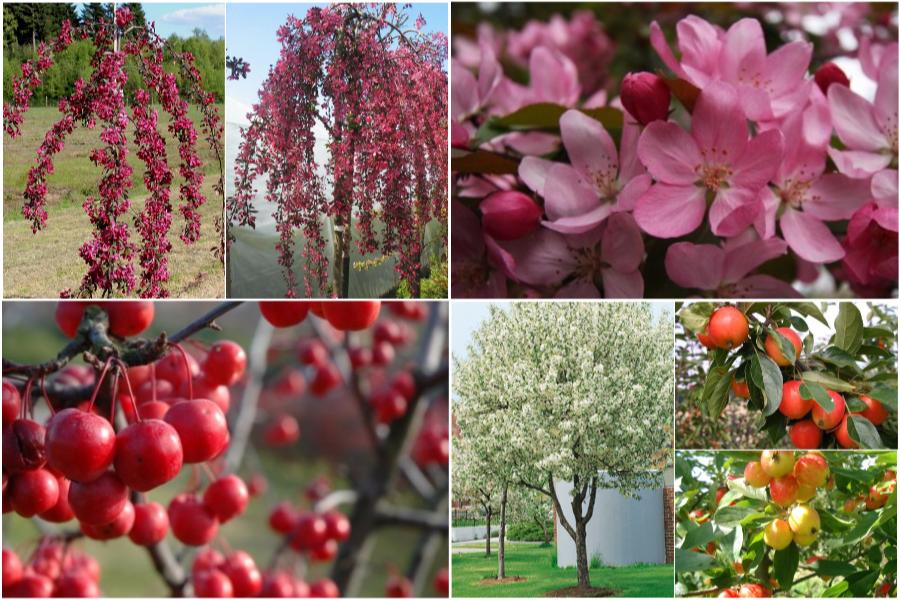Райская яблоня, особенности ухода и посадки