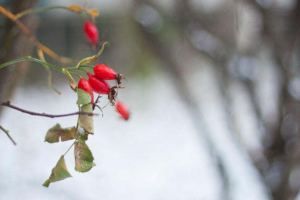 Шиповник на снегу