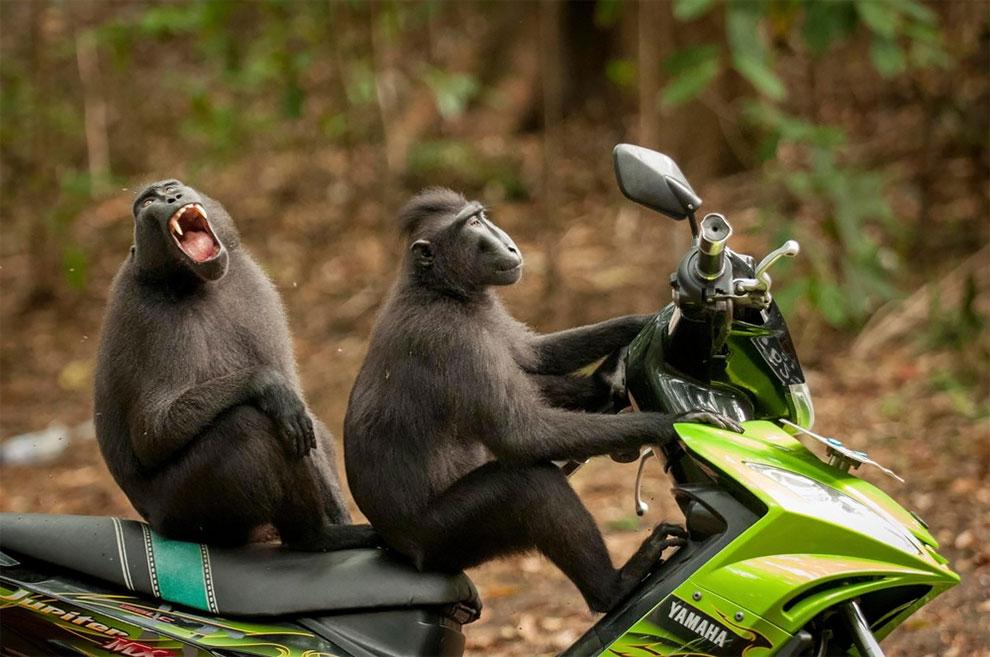 Обезьяны устроили тест-драйв мотоцикла, Индонезия. Фото: Josef Friedhuber
