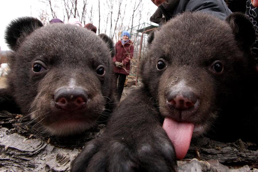 Китаец два года принимал медведей за домашних собак (5 фото)