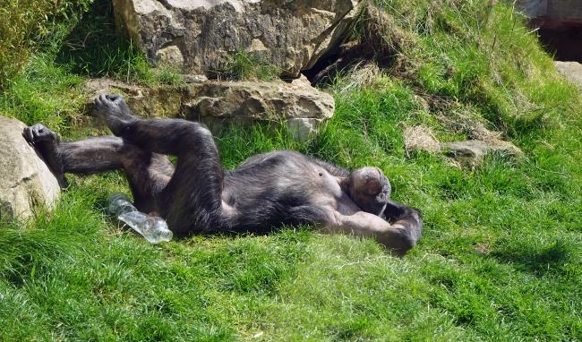 © pixabay     Большая часть приматов использует подручные средства, чтобы облегчить жизнь