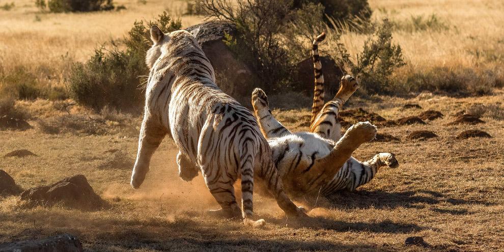 8. К сожалению, тигры относятся к вымирающим видам. В XX веке тигр внесён в Красную книгу МСОП, в Кр