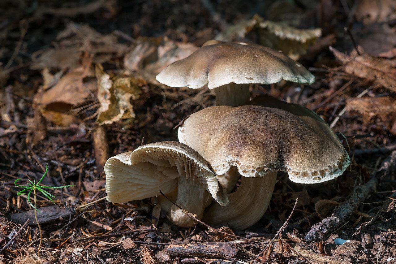 Рядовка мыльная (Tricholoma saponaceum) Автор фото: Владимир Брюхов