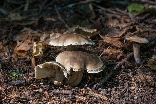 Альбом:  Грибы /  Tricholomataceae - Рядовковые Автор фото: Владимир Брюхов