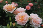 IMG_4978.JPG  роза флорибунда Зангерхаузер Юбиляумсрозе (Sangerhauser Jubilaumsrose) Kordes 2003