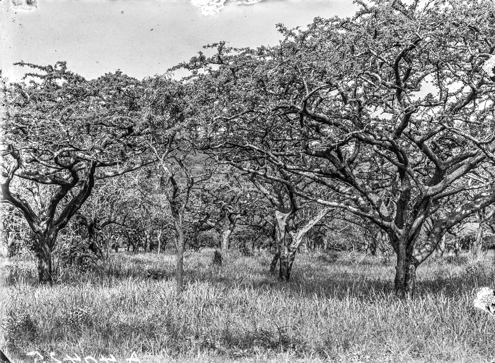 135. Лес в окрестностях Килиманджаро