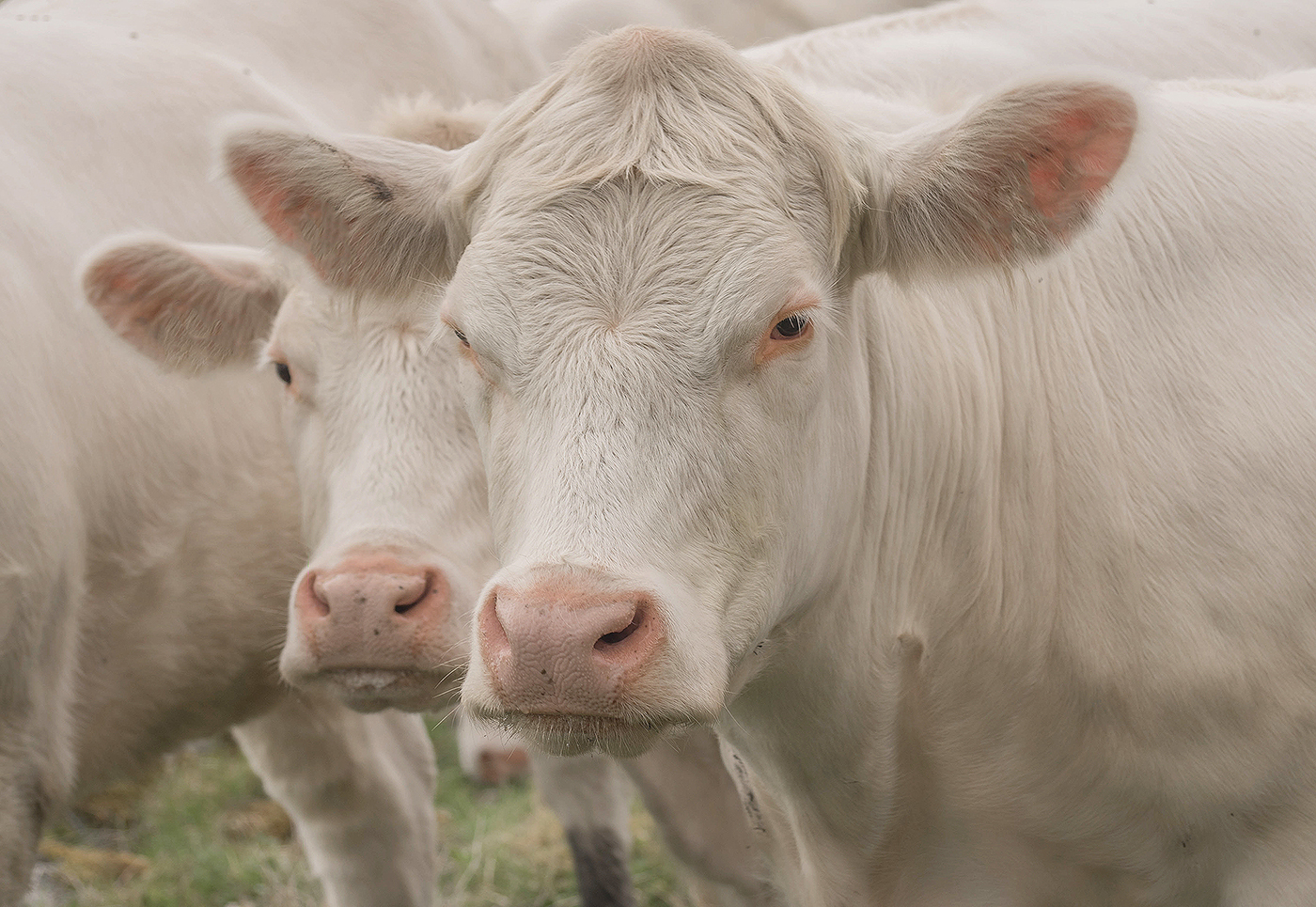 Белые коровы / Lena Sanver