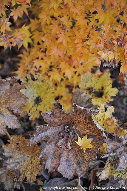 Peltiphyllum peltatum Acer palmatum Honoo.JPG