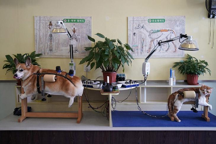 Как китайцы котов и собак иглами лечат (12 фото)