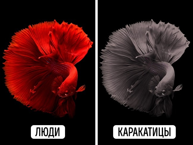 © pixabay     Несмотря наневероятную способность менять цвет своего тела, зрение каракат