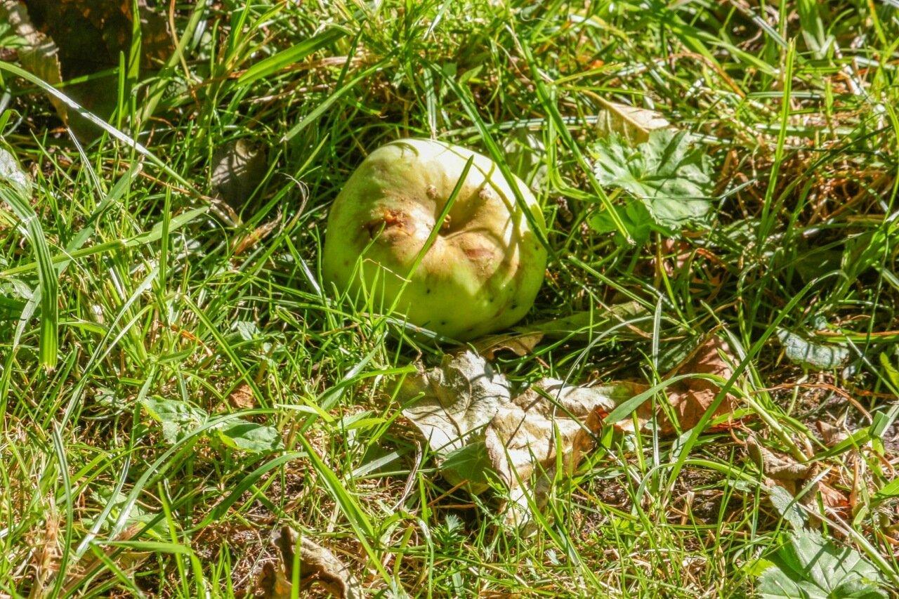 Усадьба Чехова - яблоки-3.jpg