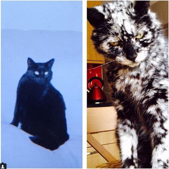 Скраппи: кот с витилиго
