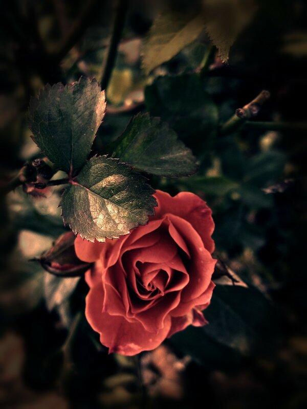 Последние розы прощальным приветом