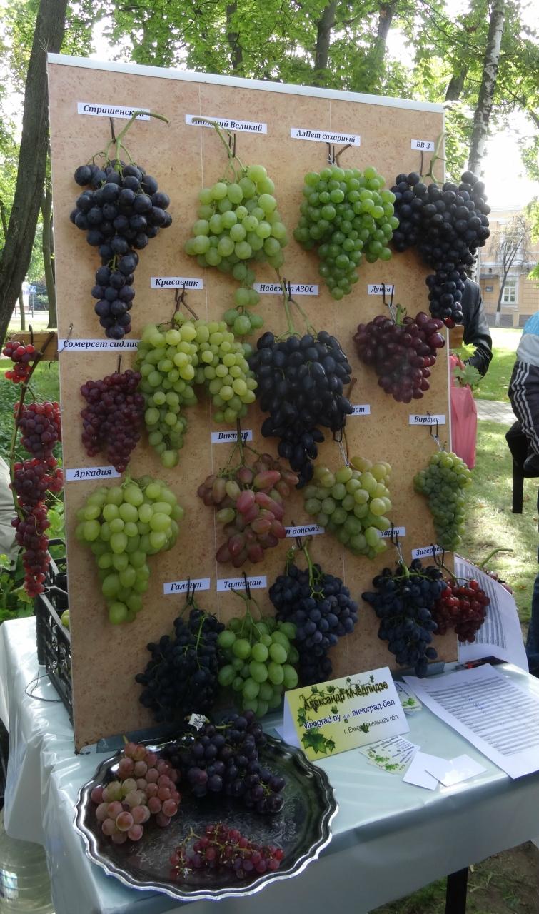 Белорусский виноград