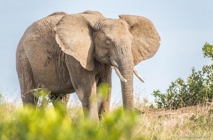 А вот еще несколько интересных фактов о слонах Бивни, до сих пор являющиеся целью браконьеров,