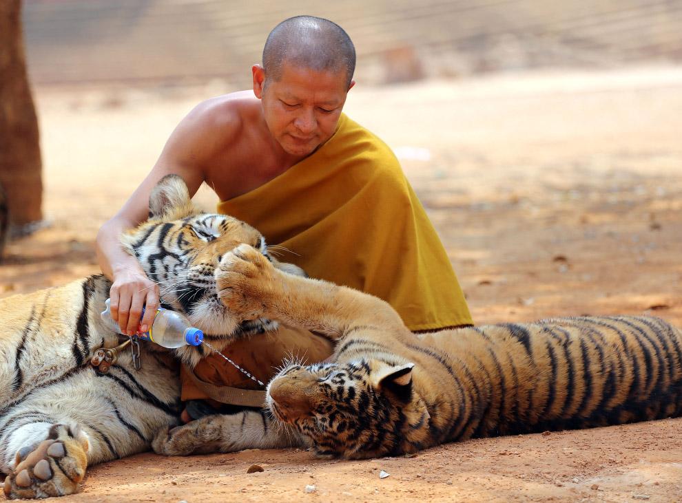 6. Тигры в клетках. (Фото Athit Perawongmetha):