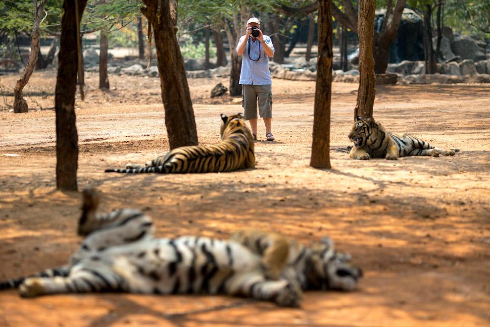 14. В природе тигры — властелины огромных территорий в несколько сот кв.км. Насколько правиль