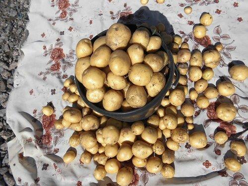 картофель Адретта.