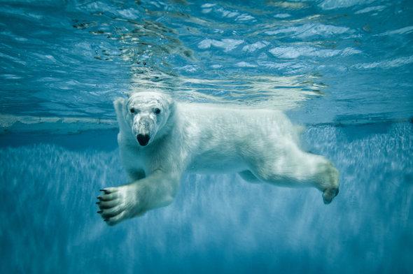 Международный день полярного медведя. Подводное плавание открытки фото рисунки картинки поздравления