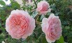 розы садовые