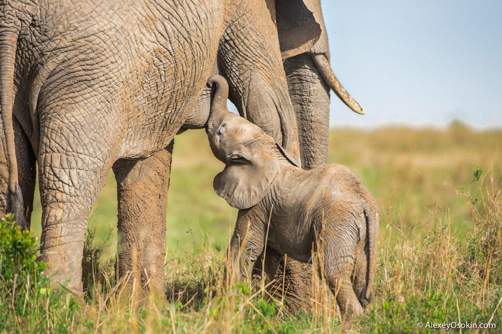 Наравне с бегемотом, слон представляет самую большую опасность для туристов среди всех диких жи