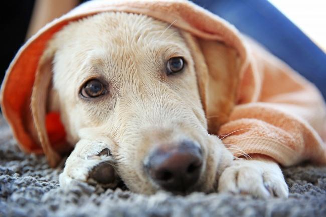 © DEPOSITPHOTOS  Еще один способ снизить температуру— обтереть питомца влажным полотенцем. Мо