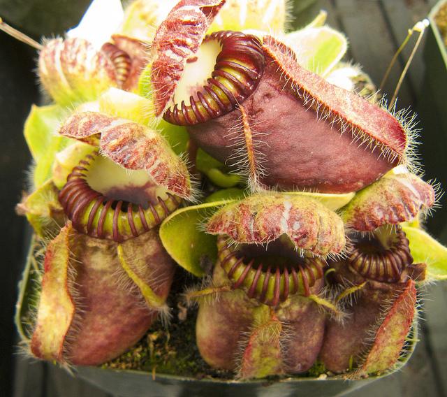 Несмотря наточто эти ужасающие «челюсти»— действительно хищные растения, питаются они только насе