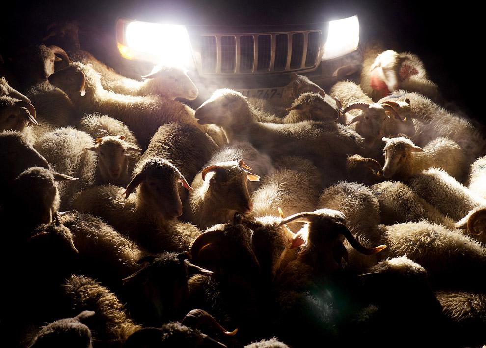 21. Не все овечки выдерживают такой сложный переход. (Фото Amos Chapple | Radio Free Europe | Radio