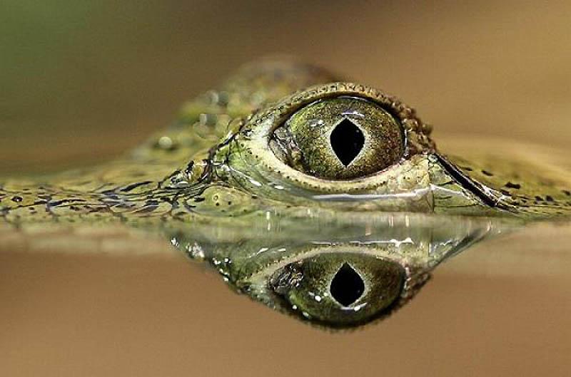 13. Крокодил Информация с новостного сайта Австралии «Тудэй»: «22-летний Бретт Манн был убит огром