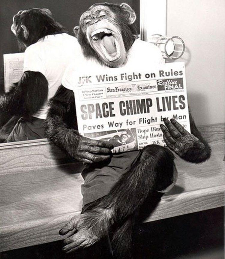 36. Шимпанзе после успешного полета в космос, 1961 год.