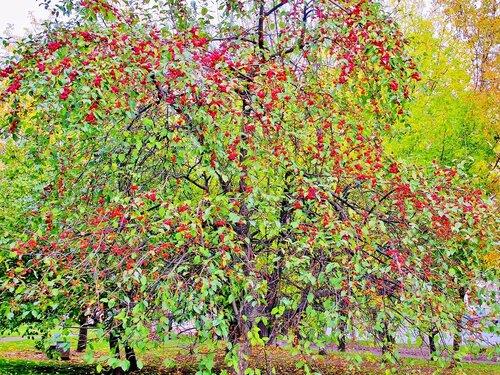 Дикая яблонька в октябре
