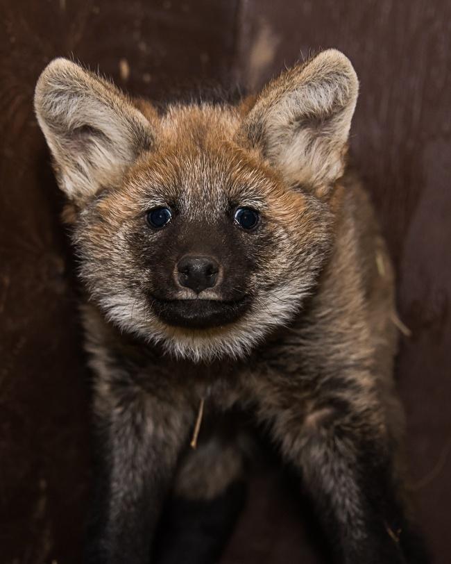 Мордочка волка очень выразительна. Ученые различают более 10 мимических выражений: гнев, злоба, поко