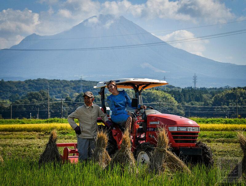 Сезон сбора урожая риса в префектуре Тоттори в Японии