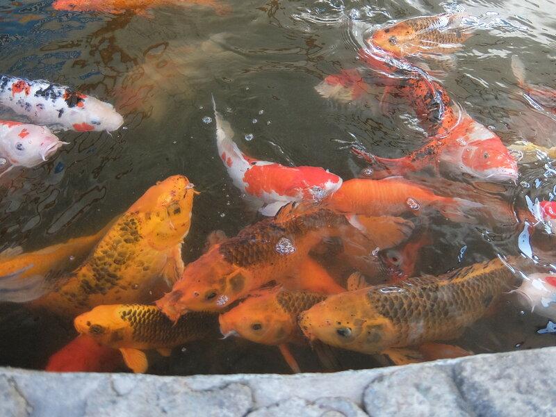 Чиангмай - Зоопарк - Прикормленные рыбы